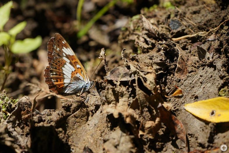 Schmetterling am Scheuerlesbach